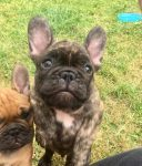 French bulldog Pup for Sale