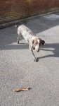 German pointer for sale