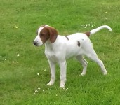 Irish Red and White Setter pups for sale