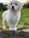 Golden Retriever Pups for sale