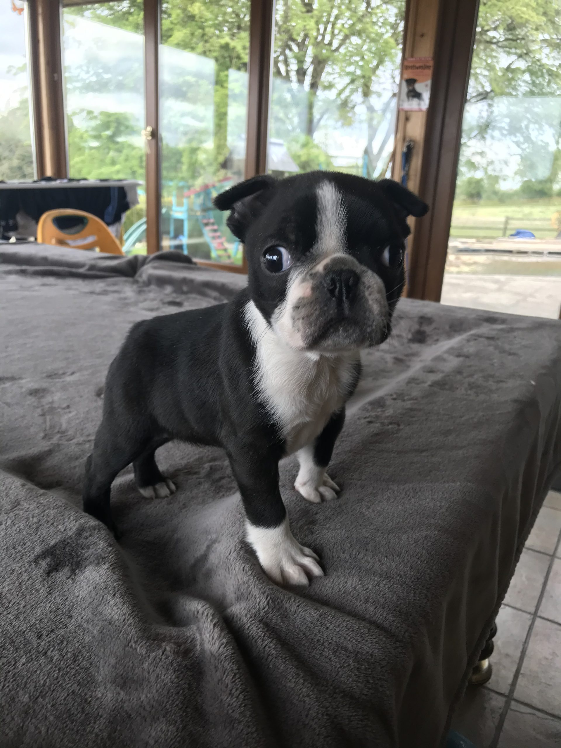 Boston Terrier pup for sale