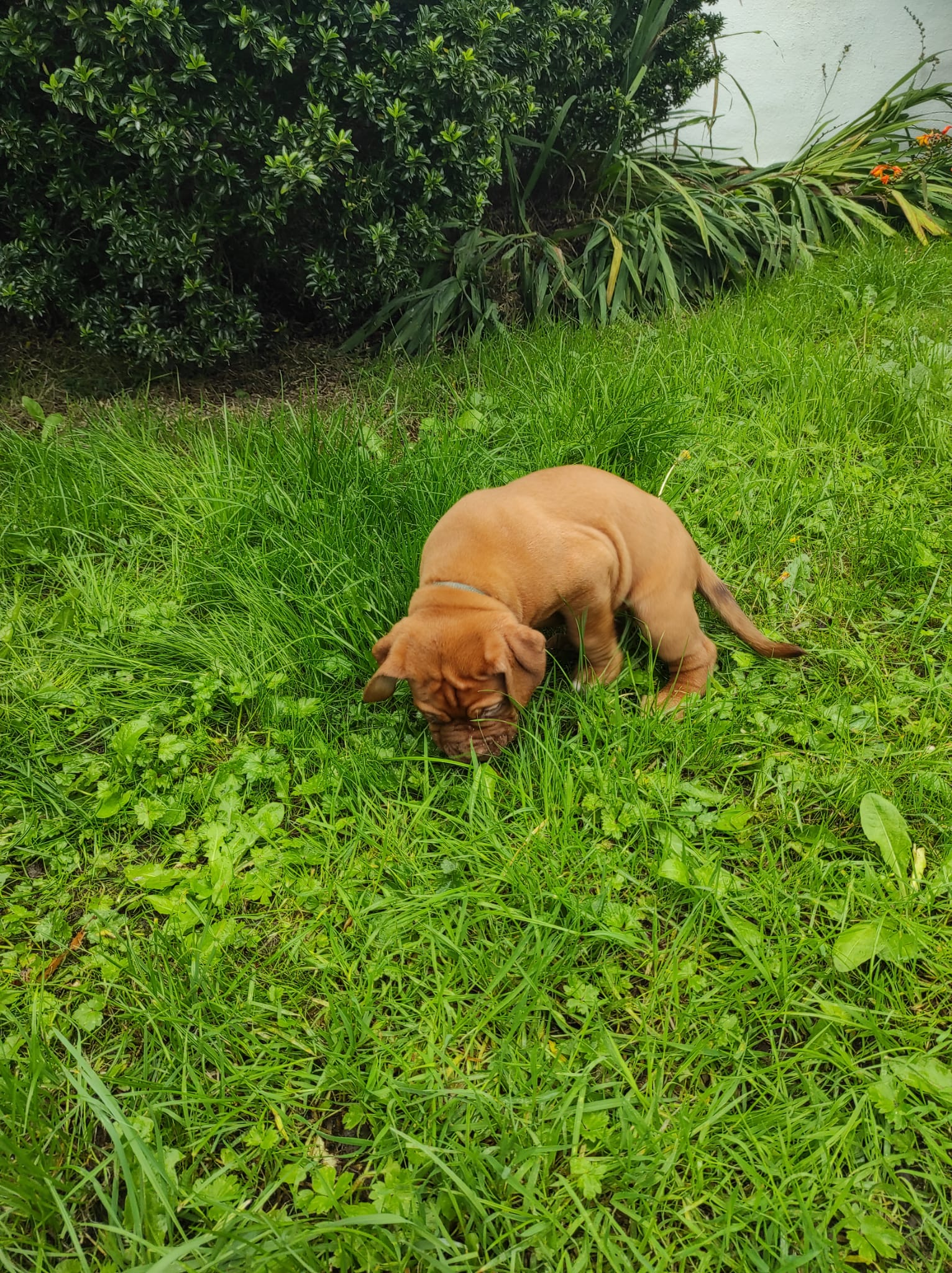 French Mastiff pup for sale