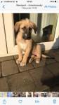 Irish Wolfhound pups for sale