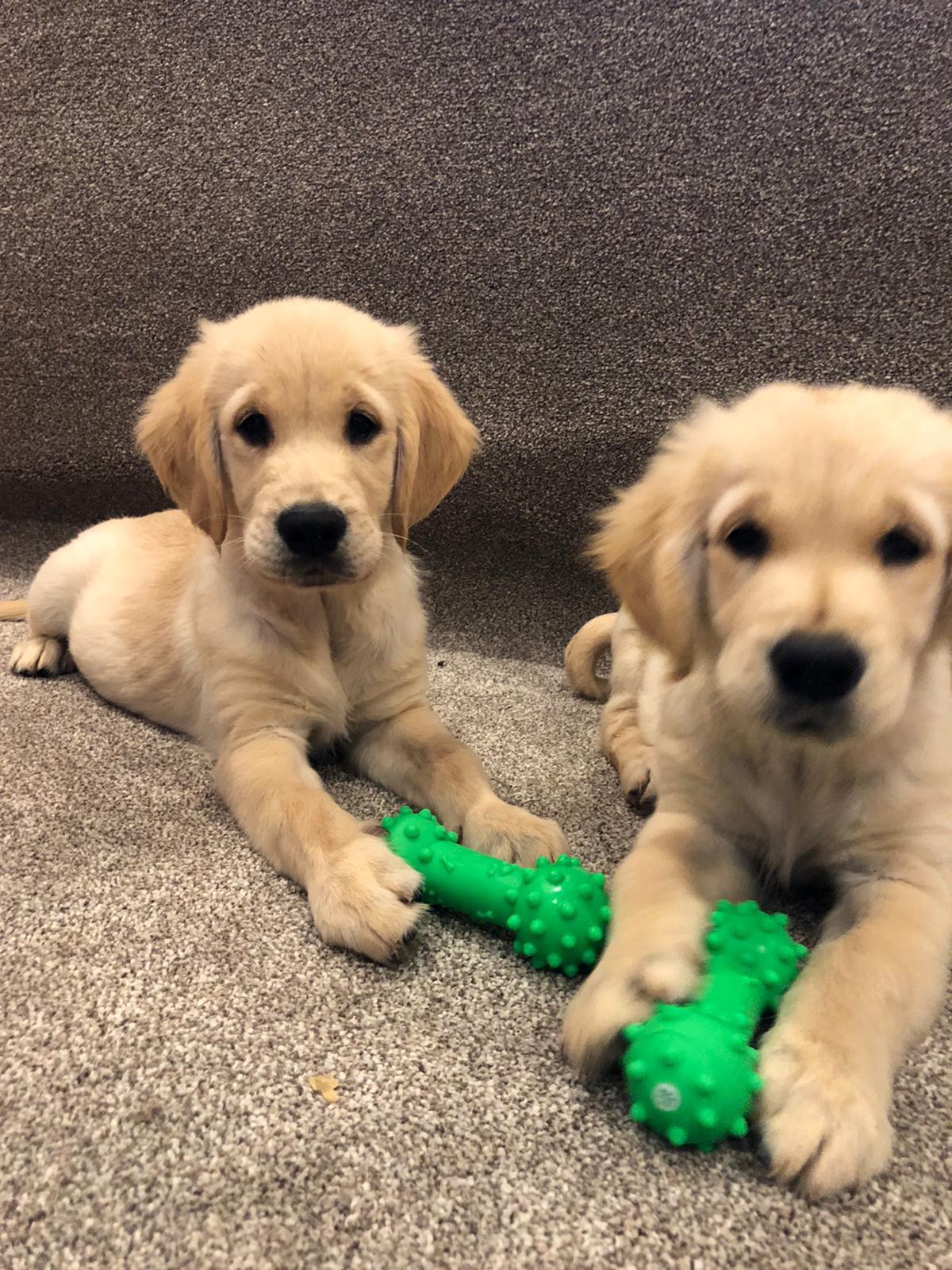 Golden Retriever - 2 pups for sale