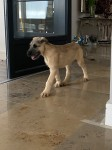 Irish Wolfhound pup for sale