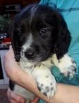 Springer spaniel dogs for sale