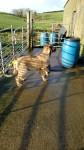 IRISH WOLFHOUND STUD DOG IN IRELAND