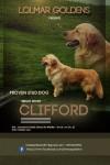 Golden Retriever Stud Dog in Ireland