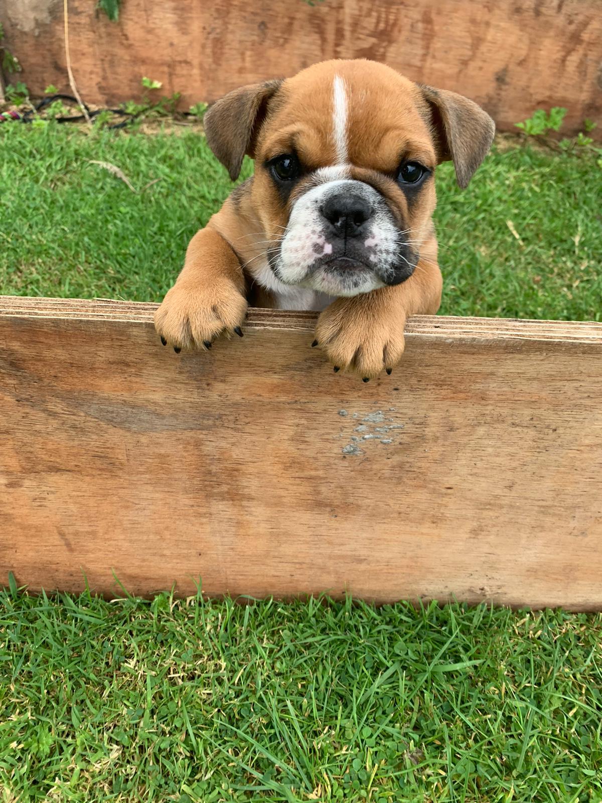 British Bulldog pups for sale