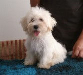 Havanese pup for sale