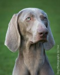 Weimaraners for sale in Ireland