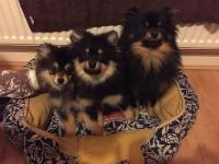 Pomeranian pups for sale