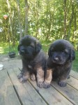 Leonberger pups for sale