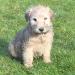 soft coat wheaten terrier pups for sale