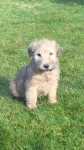 soft coat wheaten terrier pups for sale