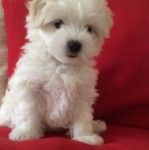 Maltese Pup for Sale IKC