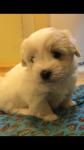 Coton de tulear pups for sale