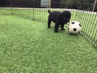 Flatcoated Retriever pups or sale