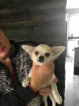Chihuahua male pup IKC for sale