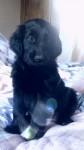 Flatcoated retriever pups for sale