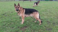 Traditional straight back German Shepherd pups for sale