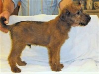 irish terrier pups for sale