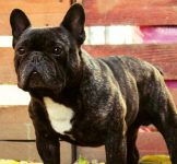 French Bulldog females with FCI pedigree