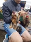 Yorkshire Terrier for STUD