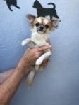 Chihuahua Long Coat pups