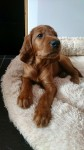 IRISH RED SETTER PUPS FOR SALE