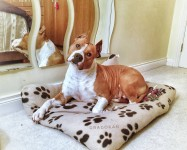 American Staffordshire Terrier Dog for sale