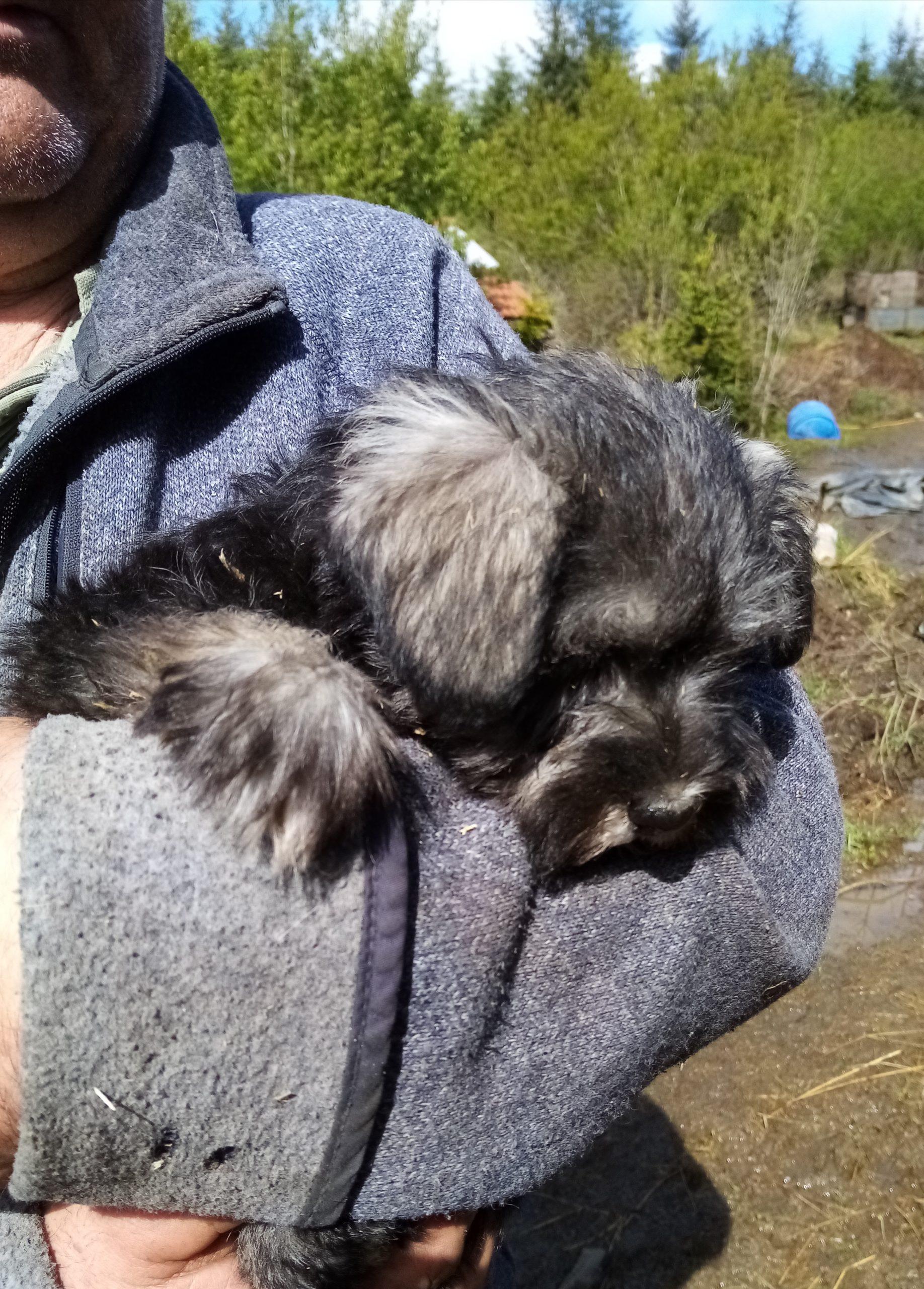 Miniature Schnauzer pups for sale