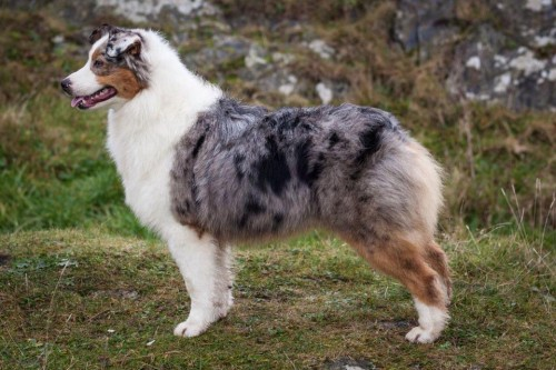 Australian Shepherds Is This Breed Right For You