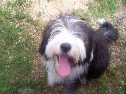 Bearded Collie Breed Is This Dog Breed Right For You