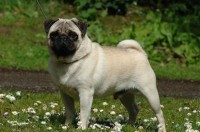 Pug Dog Breeder Ireland