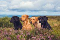 Gun Dog Breeders in Ireland