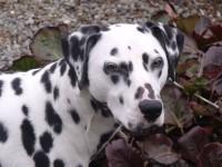 Dalmatian breeder Ireland