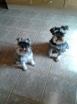 Miniature Schnauzers for sale in Ireland
