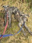 Deerhound pups