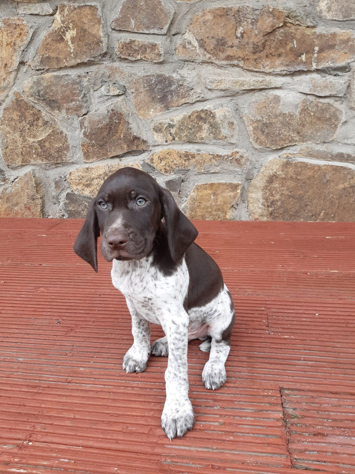 German Short haired Pointer pup for sale