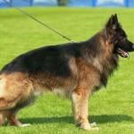 German Shepherd Dog Breeders in Ireland