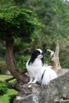 Japanese Chin for sale in Ireland