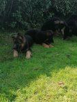 German Shepherd Dogs for sale