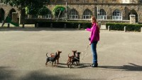 miniature pinscher breeder in Ireland