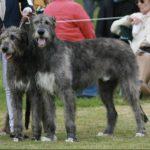 Irish Wolfhound Breeders Ireland