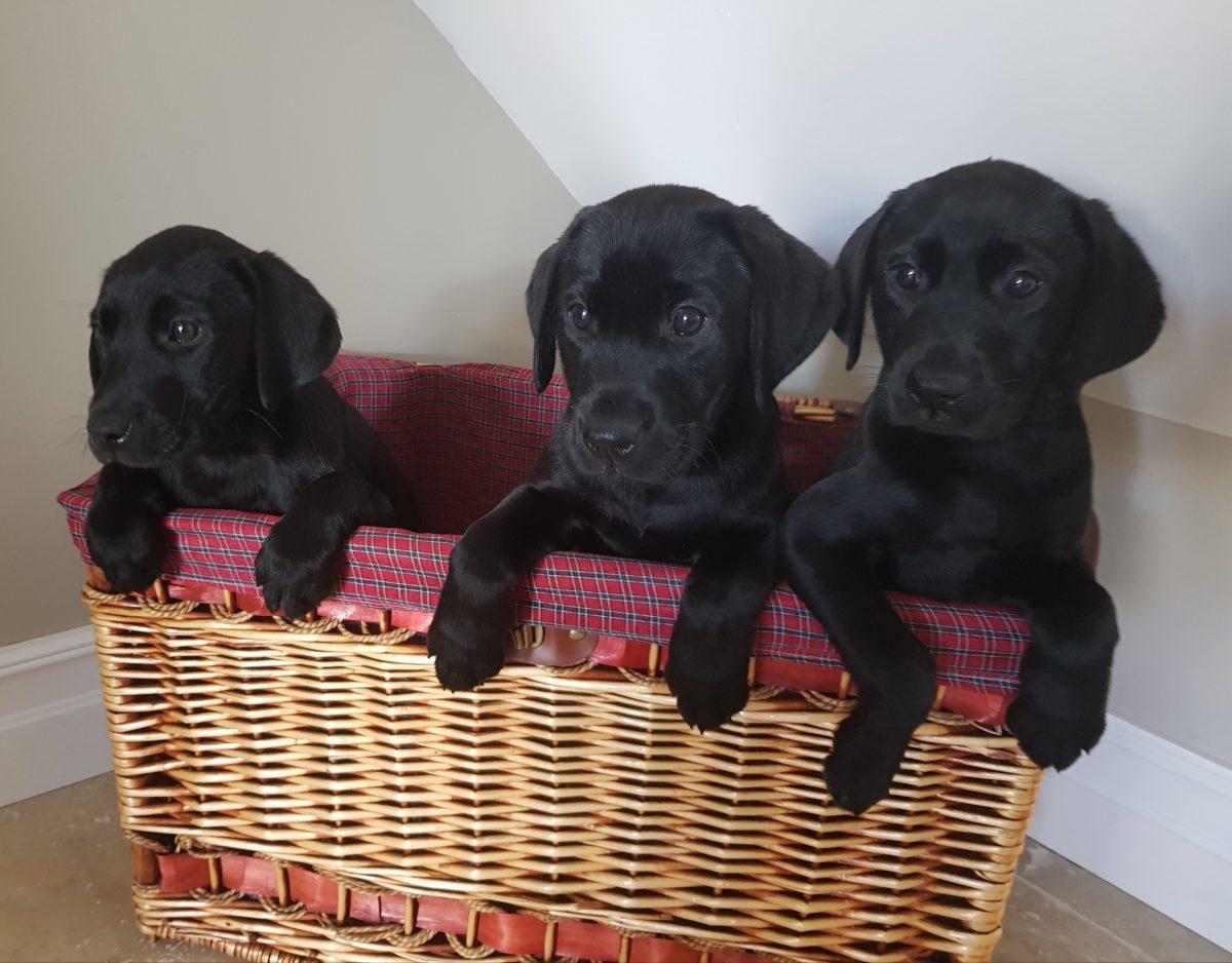 Labrador pups Jason Benson