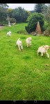 Labrador Pups for sale in Ireland