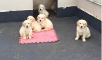 Golden Retriever pups for sale in Ireland