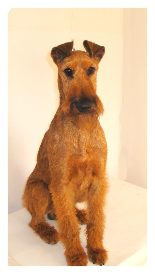 Irish Terrier Puppies For Sale Puppies For Sale Dogs For