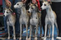 Whippet breeders in Ireland